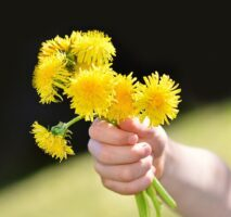 OUR FRIEND THE DANDELION